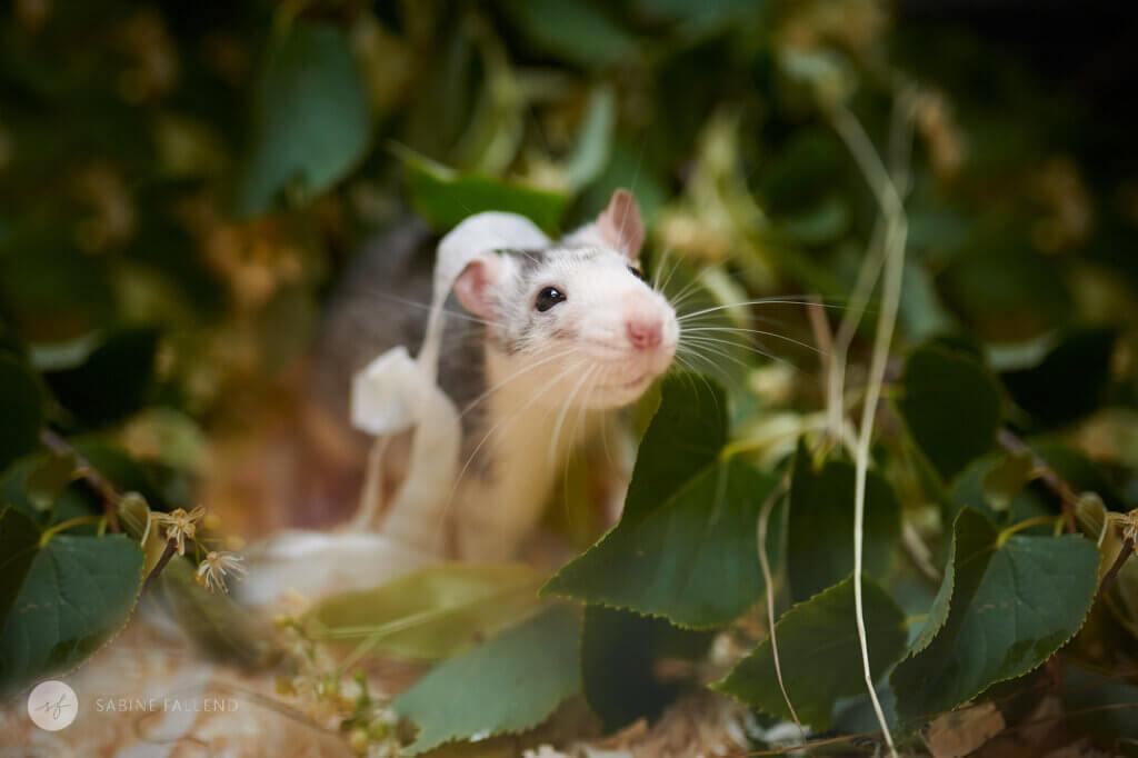 Tierschutz Ratte